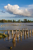 Wooden pilings of long gone fish caneries on the banks of the Fraser River in Vancouver.