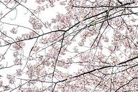 Cherry blossom in Jeju Norimae Park, Korea