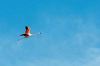 A Chilean flamingo (Phoenicopterus chilensis) is flying over the Laguna Nimez Bird Sanctuary in El Calafate, Argentina.