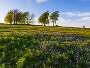 The Seven Sisters and bluebells on Cothelstone Hill in the Quantock Hills, Somerset, England.