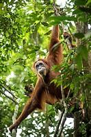 Sumatran Orangutan in the jungle of Bukit Lawang, Sumatra, Indonesia.