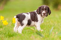 An English Springer Spaniel puppy at 6 weeks old exploring the garden.