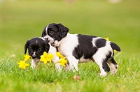 Two English Springer Spaniel puppies at 6 weeks old playing and showing movement.