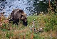 Brown bear Ursus arctos Dalarna Sweden