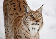 Lynx Halsingland Sweden