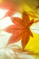 Japanese maple and ginkgo leaves.