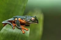 Splendid leaf frog, Cruziohyla calcarifer, climbing on a leaf, in rainforest, Laguna del Lagarto, Boca Tapada, San Carlos, Costa Rica.
