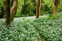 Wild Garlic, or Ramsons, in flower in woodland near Limpley Stoke, Wiltshire, England.