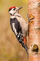 A Great Spotted Woodpecker (Dendrocopos major) on a tree in the uk.
