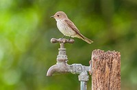 A Spotted Flycatcher (Muscicapa striata) in the uk.
