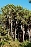 Pine forest, Porto do Son, La Coruna province, Region of Galicia, Spain, Europe.