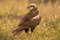 Western Marsh Harrier (Circus aeruginosus). Photographed in the laguna de la mancha in Toledo.
