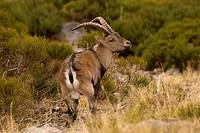 Iberian ibex (Capra pyrenaica). Photographed in Gredos Avila.