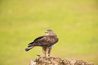 Bonelli&39, s eagle-ostrich or Bonelli&39, s eagle (Aquila fasciata). Photographed at Adamuz in Sierra Morena Andalucia.