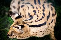 Serval wild cat.