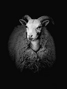 Abstract black and white sheep.