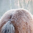 Icy winter coat on an Icelandic horse.