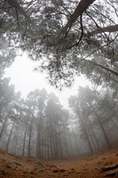 Canary Island Pine forest, Pinus canariensis, Tenerife, Canary Islands, Spain.