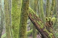 Laurel Forest (Laurisilva), La Gomera, Canary Islands, Spain.