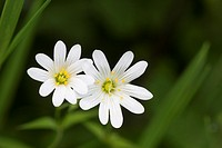 Greater Stitchwort, Stellaria holostea, Catbrook, Monmouthshire, May. Family Caryophyllaceae.