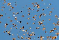 Central America, Mexico, State of Michoacan, Angangueo, Reserve of the Biosfera Monarca Sierra Chincua, monarch butterfly (Danaus plexippus), In winte...
