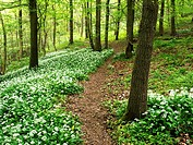 Path through Wild Garlic Flowers in Skipton Castle Woods in Spring Skipton North Yorkshire England.