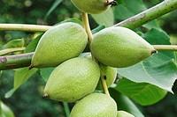 Manchurian walnut (Juglans mandshurica).