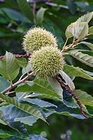 American chestnut fruits (Castanea dentata).
