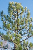 Longleaf pine (Pinus palustris). Called Southern Yellow Pine also.