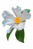 Tea oil camellia (Camellia oleifera). Called Oil-seed camellia also. Image of flower isolated on white background.