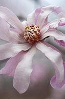 Leonard Messel loebner magnolia flower (Magnolia x loebneri Leonard Messel).