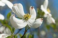 Springtime flowering dogwood (Cornus florida Springtime).