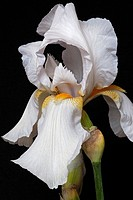 Hybrid German iris (Iris x germanica). Image of flower isolated on black background.