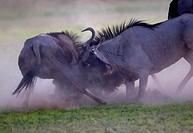 Blue wildebeest (Connochaetes taurinus), fighting, Kgalagadi Transfrontier Park, Kalahari desert, South Africa/Botswana.