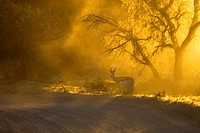 Springbok (Antidorcas marsupialis), Kgalagadi Transfrontier Park in rainy season, Kalahari Desert, South Africa/Botswana.