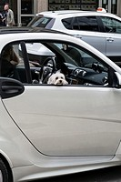 Small white dog peeping through small white car window on busy street near Milan Central Station, Italy.
