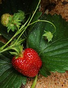Summer Strawberries growing in Sawdust mulch.