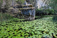 Water lilies on the Lobos River. Canyon of Río Lobos Natural Park. Soria. Castilla y León. Spain.