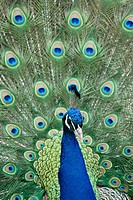 Peacock showing feathers. Exotic bird plumage. Wildlife pattern with eyes.