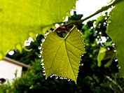 Beads of clear liquid hang from every point in a grape leaf in a backyard, Ontario, Canada. The process is called guttation . The vine is expelling mo...