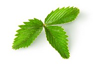 Wild strawberry leaf top view isolated on white background.