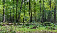 Old linden tree broken lying in deciduous stand with ferns, Bialowieza Forest, Poland, Europe.