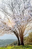 A blossoming almond tree on Pelion Peninsula, Thessaly, Greece.