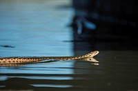 A gopher snake swims in a Northern California stream.