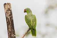 Red Lored Parrot, Amazona autumnalis ssitting in a tree with his back to the camera, Laguna del Lagarto, Boca Tapada, San Carlos, Costa Rica.