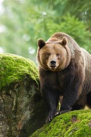 Brown Bear (Ursus arctos), Bavarian Forest National Park, Germany.