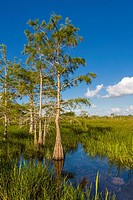 Dwarf Cypress trees in wet grasslands of Everglades National Park in South Florida.
