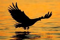 A sea-eagle is catching a fish at the Norwegian Coast. Seeadler fängt einen Fisch.