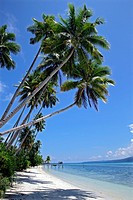 Coconut trees at the beach of an island in Raja Ampat Nationalpark, Papua, Indonesia, Southeast Asia.