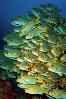 Huge school of Yellow Sweetlips, or Ribboned Sweetlips (Plectorhinchus polytaenia), Raja Ampat, Papua Barat, Papua, Pacific, Indonesia, Southeast Asia